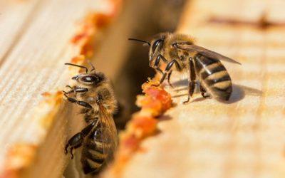 Propolis et miel : un duo gagnant