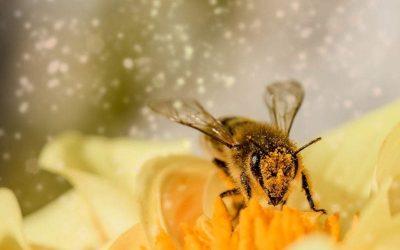 L'apithérapie : les soins prodigués par les abeilles